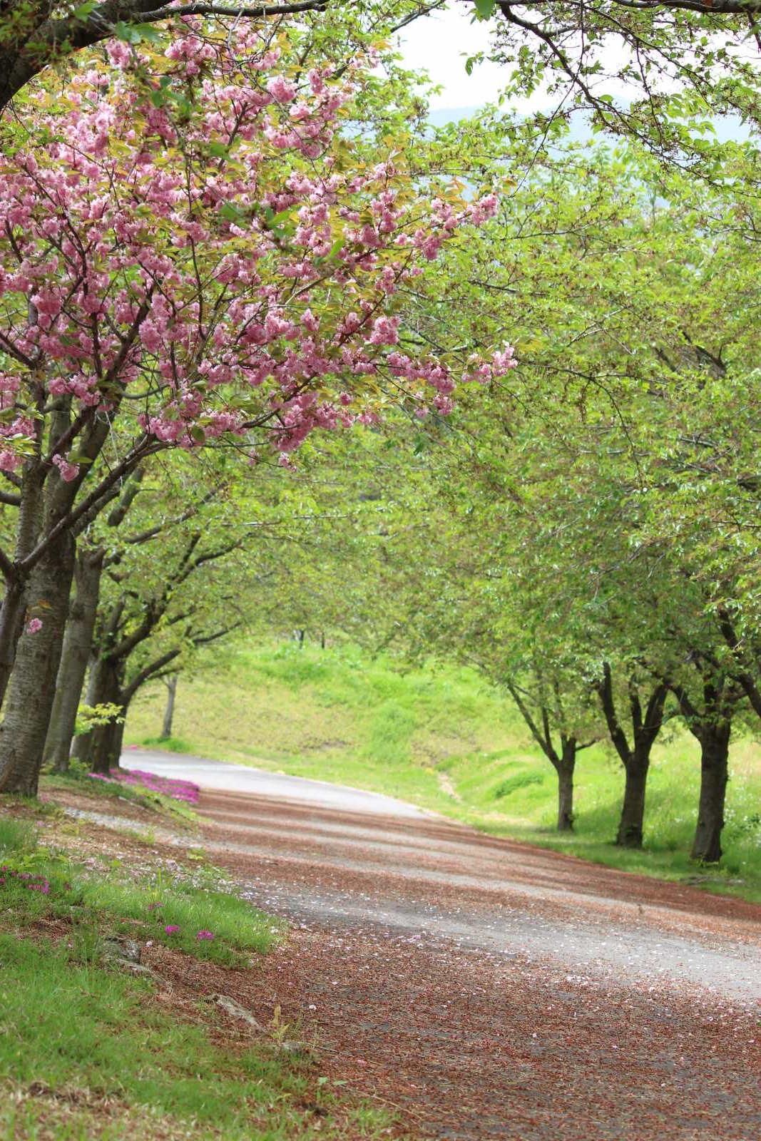 桑原雁塚霊園「桜花園」の桜並木